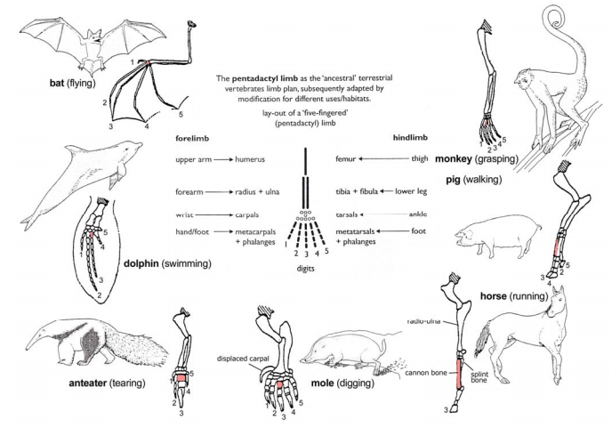 Comparative anatomy evolution
